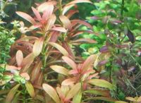 Rotala sp. 'Sunset'